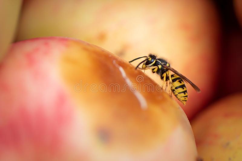 Wasp sits on an apple in autumn stock photos