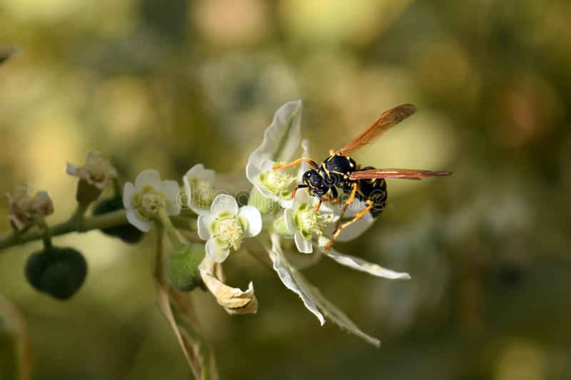 A wasp sits on a flower royalty free stock images