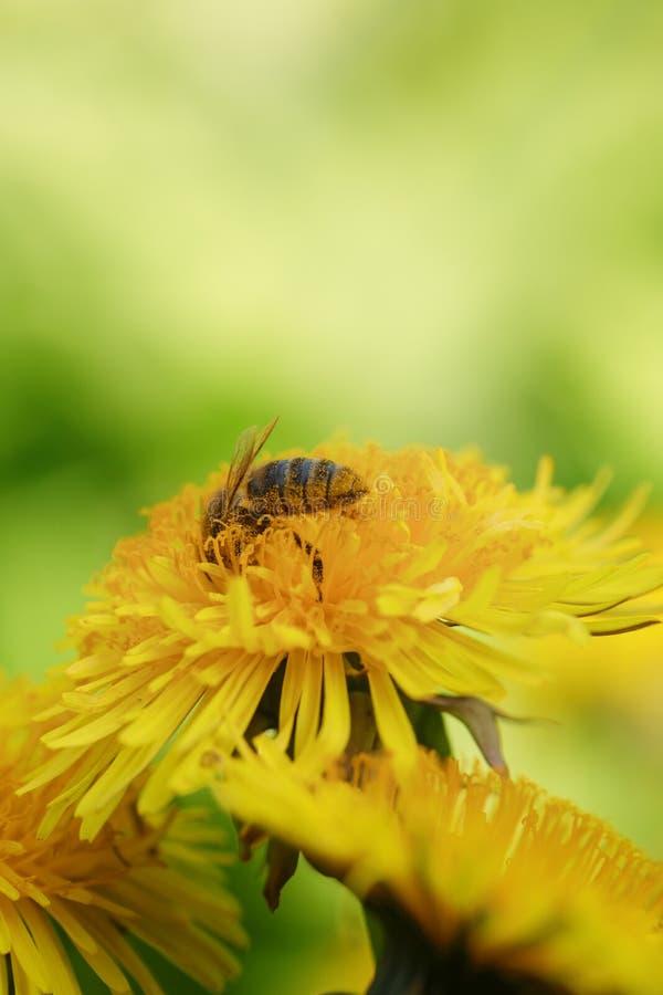 Wasp som samlar nektar på dandelios arkivfoton