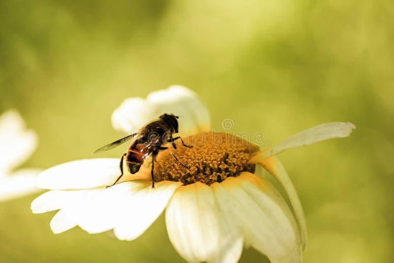 Wasp som tar pollen royaltyfria foton