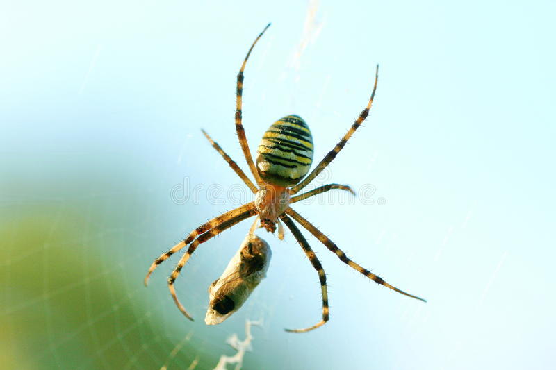 Wasp Spider. A wasp spider is wrapping its pray in silk royalty free stock image