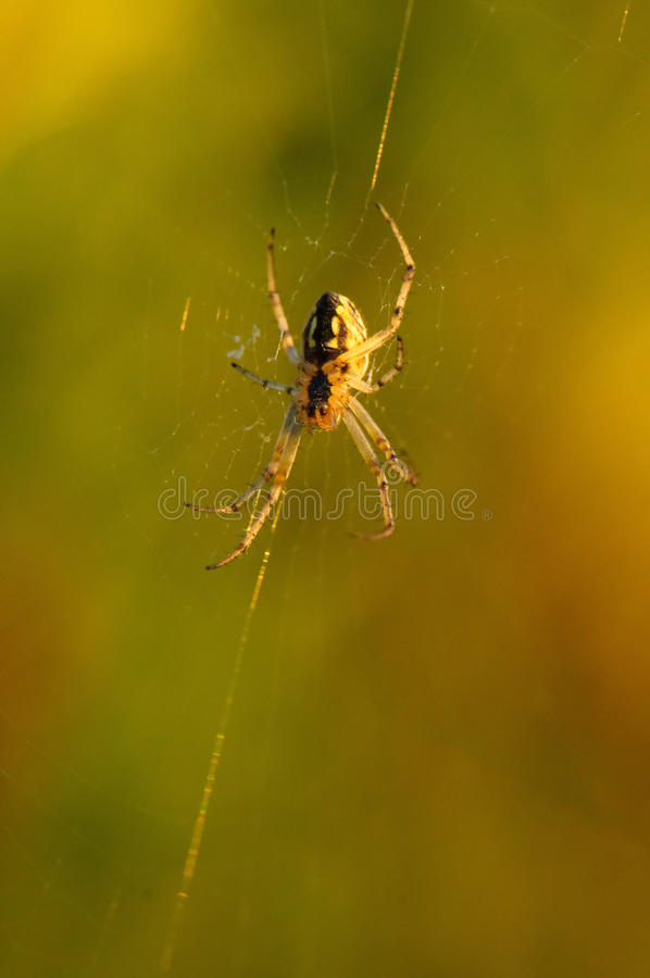 Download Wasp spider stock image. Image of nature, creepy, insect - 26237001