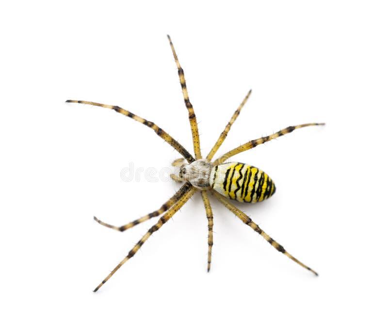 Wasp spider, Argiope bruennichi. Against white background royalty free stock photo