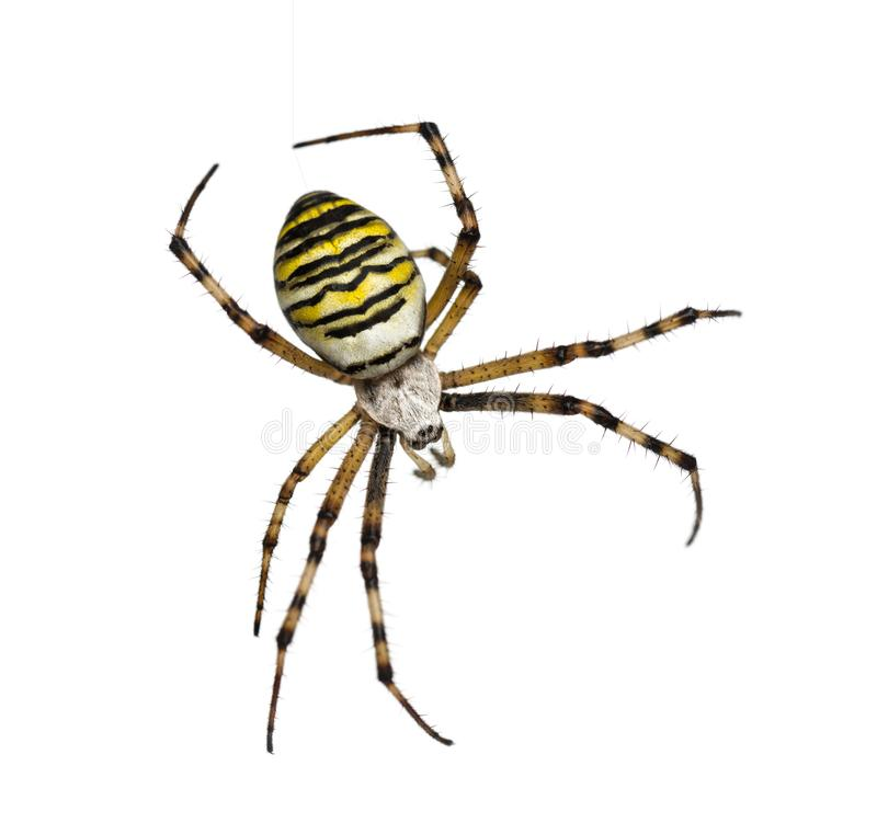 Wasp Spider, Argiope bruennichi, hanging on silk against white b. Ackground royalty free stock image