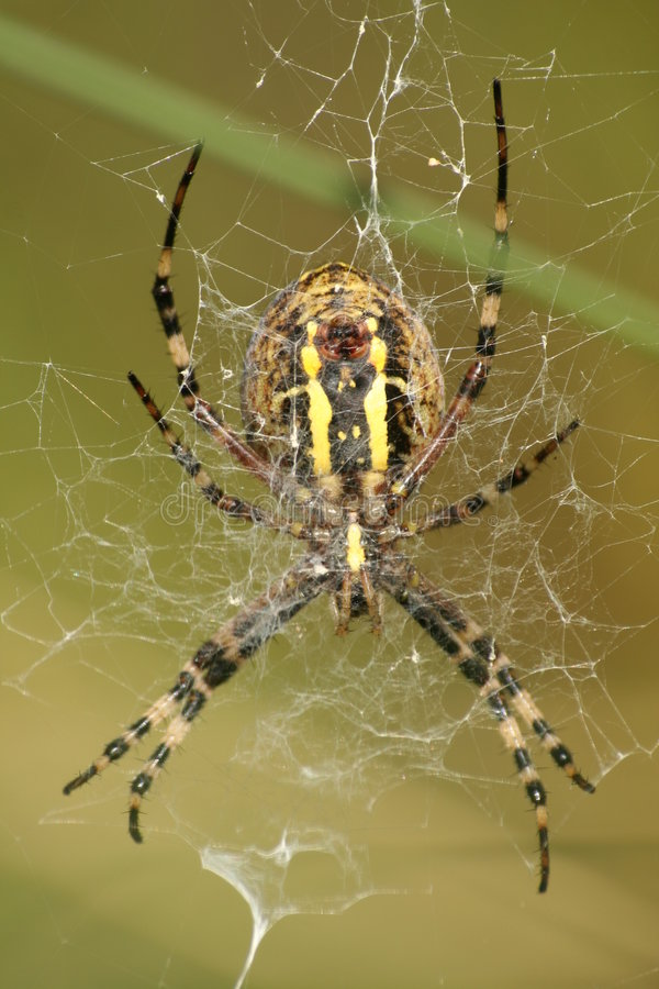 Wasp spider - bottom view stock images