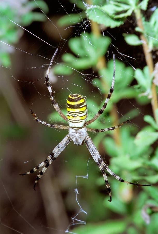 Download Wasp Spider Hanging On Web. Argiope Bruennichi Stock Image - Image: 25577545