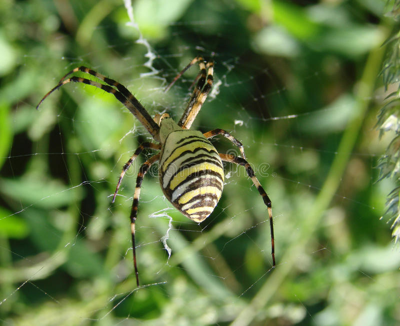 Wasp spider sitting on a web green background. Wasp spider sitting on a spider web on a green background stock photos