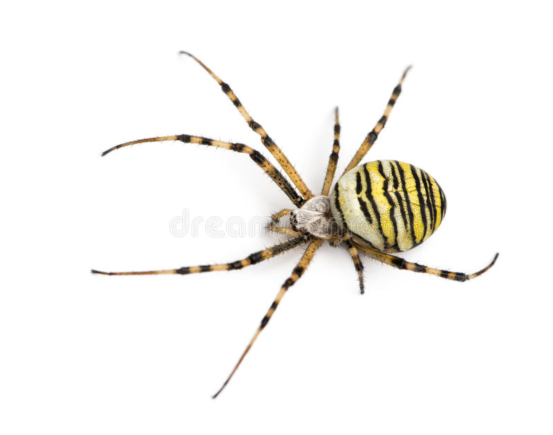 Wasp spider viewed from up high, Argiope bruennichi, isolated. On white stock photos
