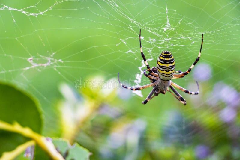 Wasp spindel, Argiopebruennichi med ett rov royaltyfria foton