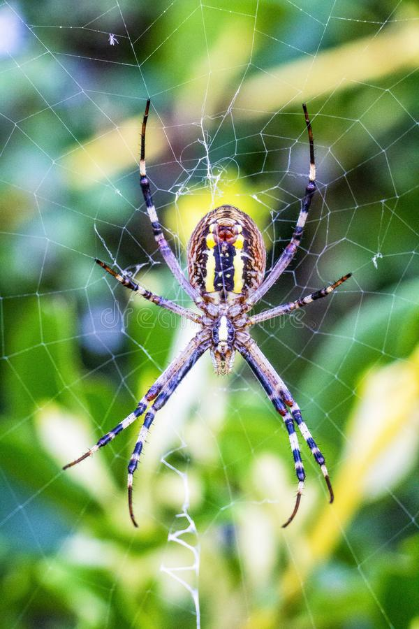 Wasp spindel, Argiopebruennichi, nära undersidasikt royaltyfria foton