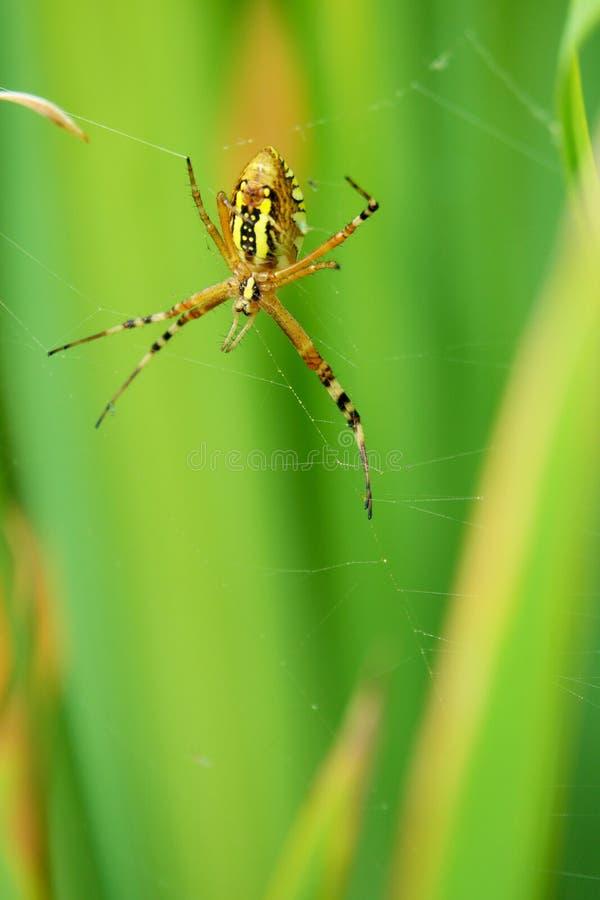 Wasp-spindel royaltyfri bild