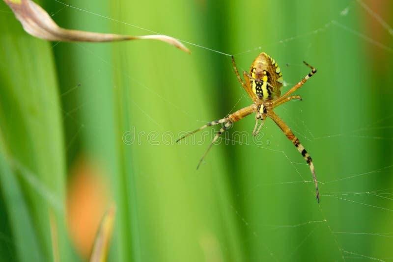 Wasp-spindel royaltyfri foto