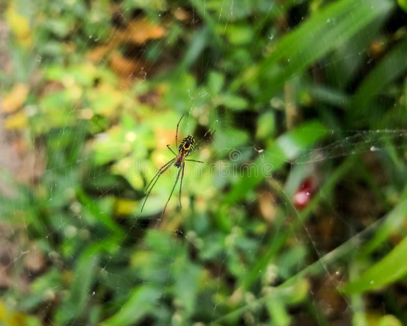 Wasp spindel, Orb-vävare en exotisk spindeldjur över en bedöva färgrik bakgrund royaltyfria foton