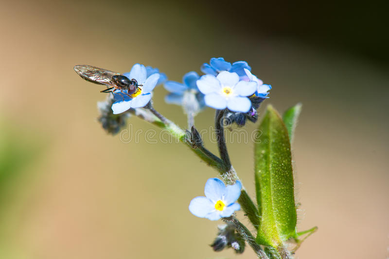 Wasp sucking from a flower. Wasp sucks from a blue flower in spring royalty free stock images