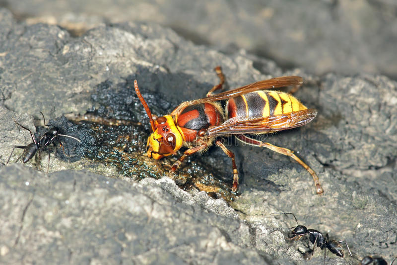 Wasp. The wasp is sucking the sap stock photo