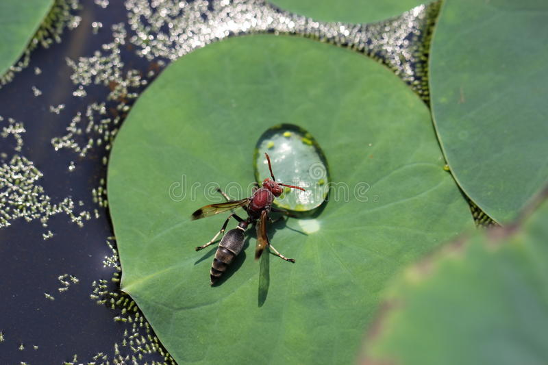 Wasp. The wasp is sucking water on lily pad stock photo