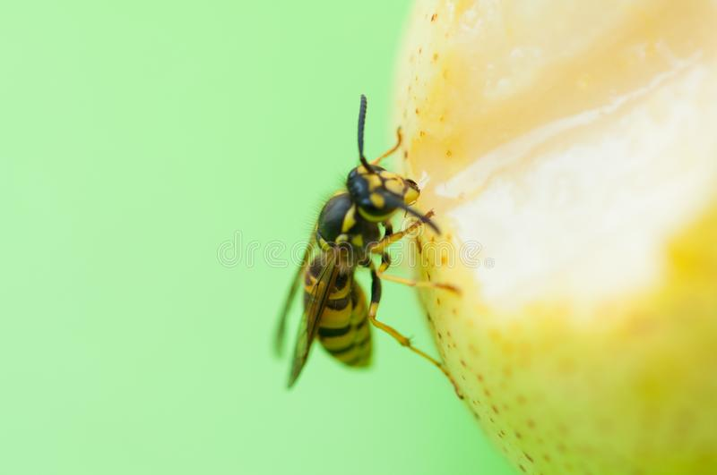 Wasp sucks the juice out of the fruit.Wasp on pear. Insect, animal, black, bee, closeup, macro, nature, food, outdoor, natural, summer, apple, wildlife, green stock image