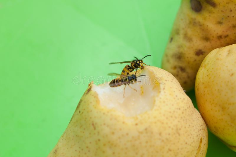 Wasp sucks the juice out of the fruit.Wasp on pear. Insect, animal, black, bee, closeup, macro, nature, food, outdoor, natural, summer, apple, wildlife, green royalty free stock photos