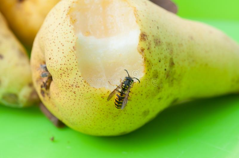 Wasp sucks the juice out of the fruit.Wasp on pear. Insect, animal, black, bee, closeup, macro, nature, food, outdoor, natural, summer, apple, wildlife, green stock photo