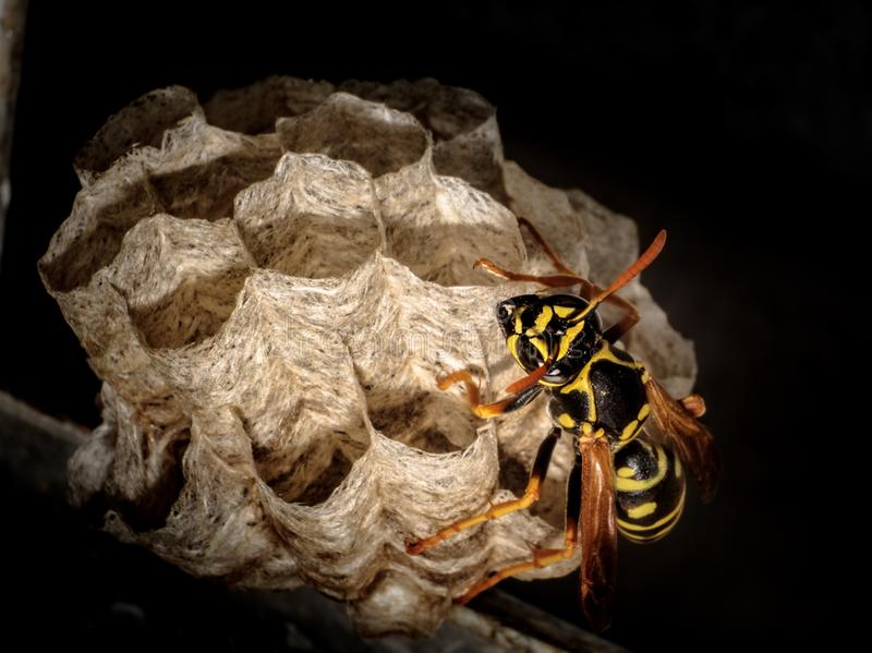 A wasp is a type of flying insect stock images