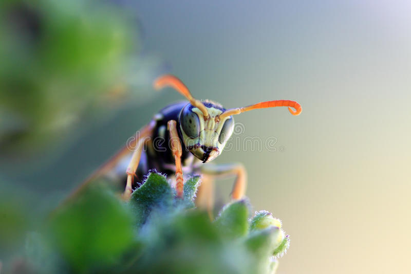 Wasp in the vegetation. A wasp hiding in the vegetation, looking for a prey royalty free stock image