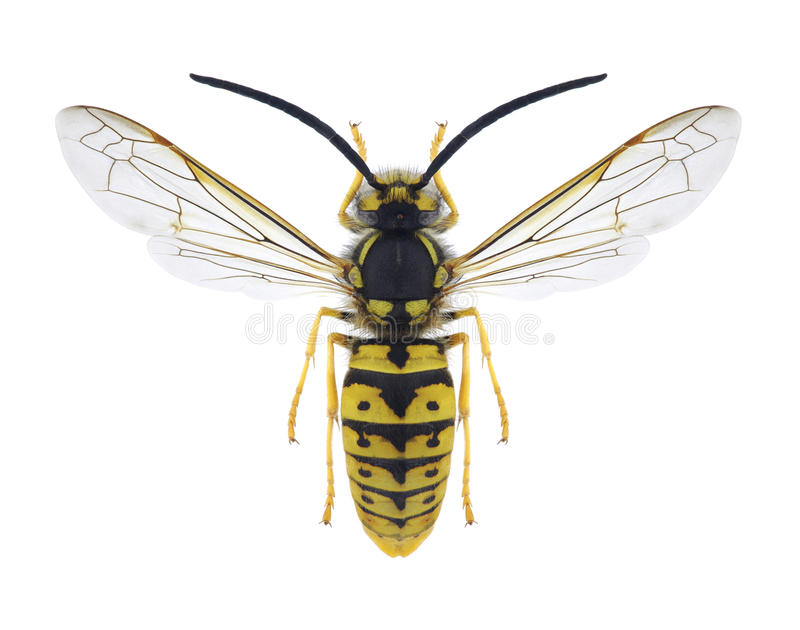 Wasp Vespula germanica male. On a white background royalty free stock image