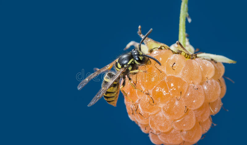 A wasp Vespula vulgaris. On a raspberry stock images