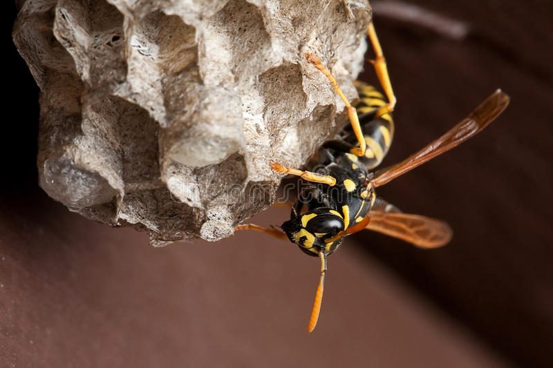 Wasp and Wasp Nest stock photos