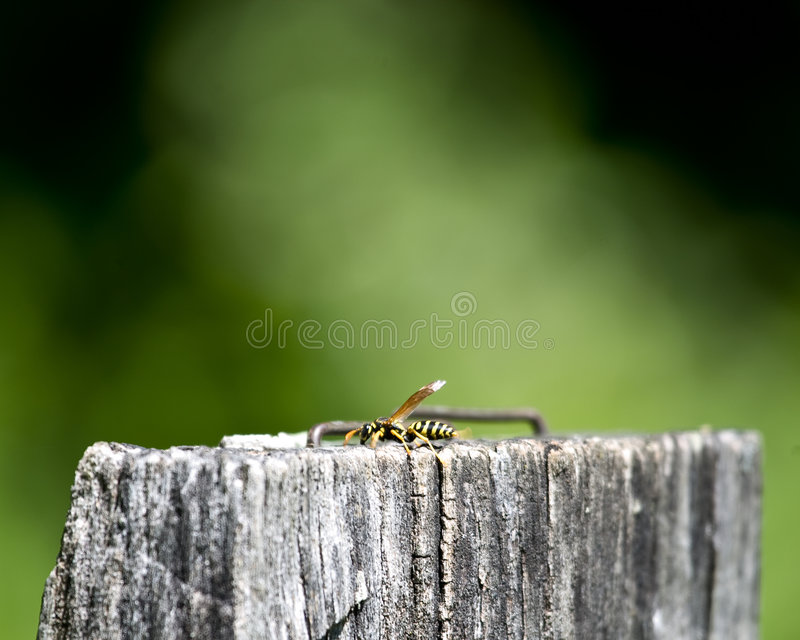 Download Wasp on wooden post stock image. Image of winged, hornet - 5264859