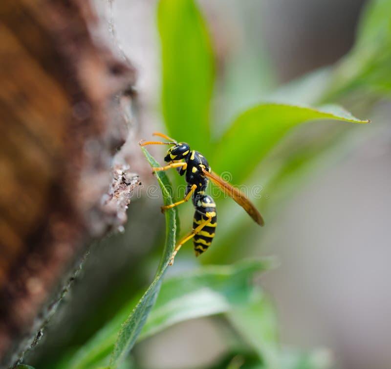 Download Wasp stock image. Image of sting, vespids, black, hymenoptera - 31922527
