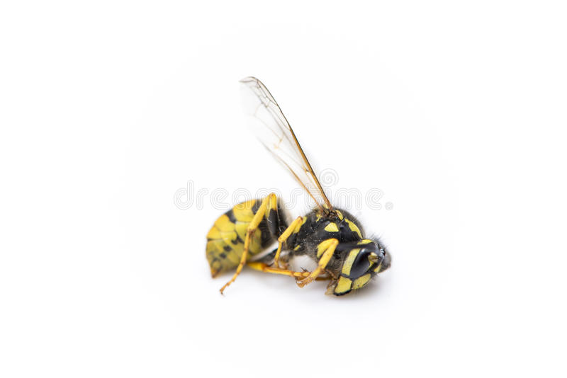 Wasp yellow and black color stock photos