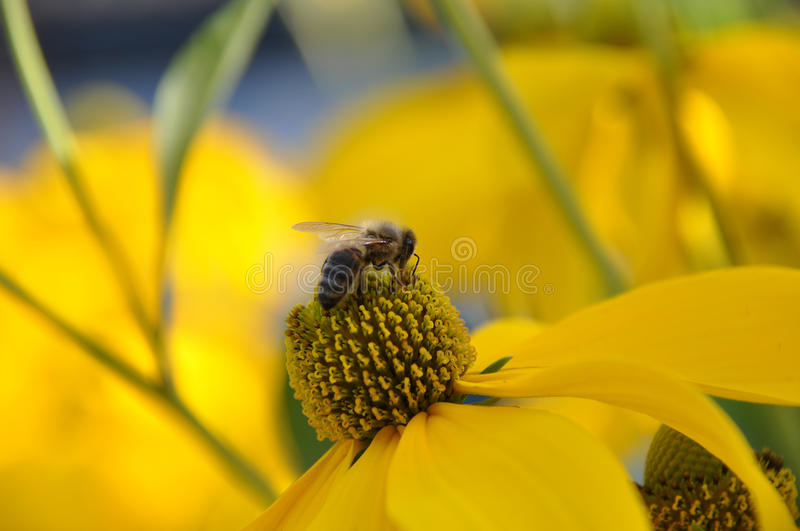 Wasp on a yellow flower royalty free stock photography
