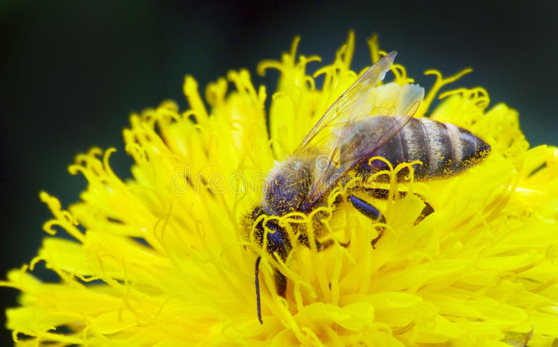 Download Wasp on yellow flower stock photo. Image of pollination - 30792696