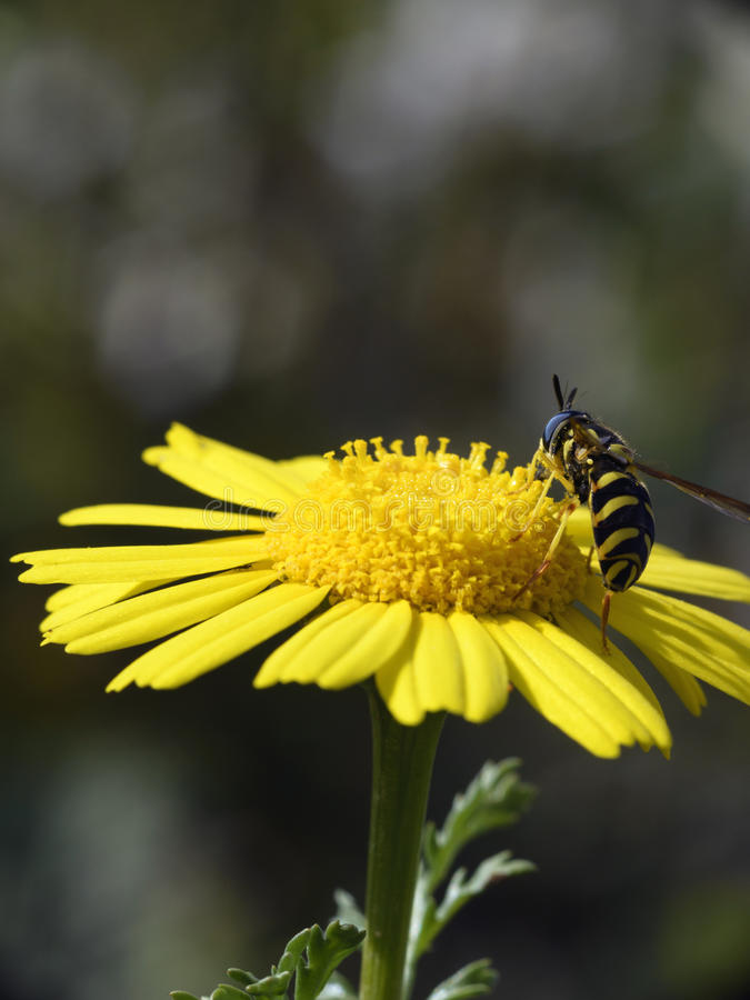 Wasp in a yellow flower. Macro photography with a little wasp in a yellow flower stock photo