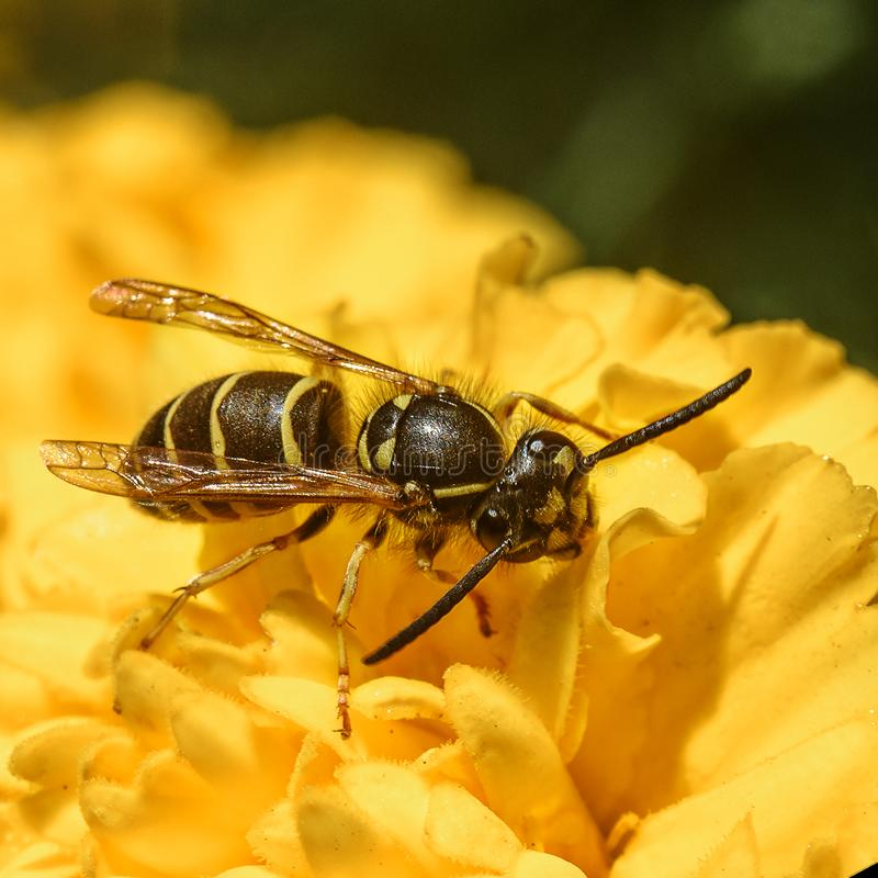 Wasp on a yellow flower. Wasp sitting on a yellow flower, close-up royalty free stock image