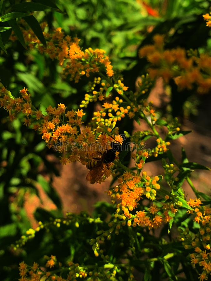 Wasp on yellow flowers, close-up royalty free stock image