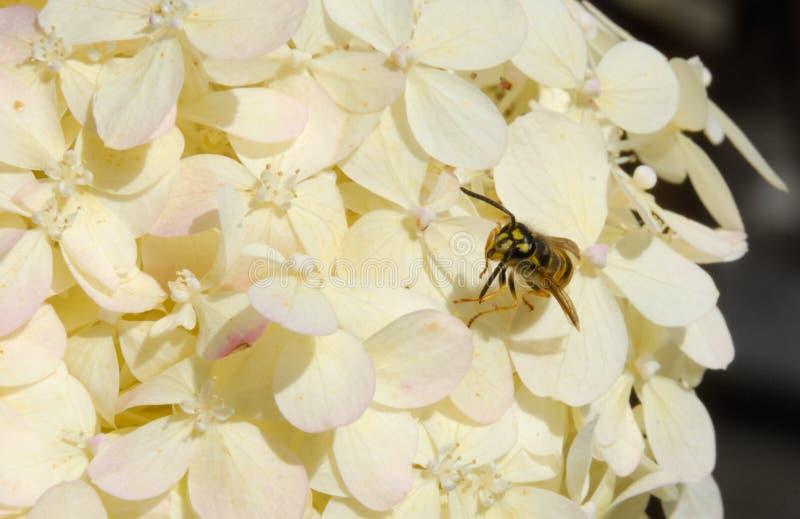 Wasp yellowjacket on white summer hydrangea blossom flower stock photos