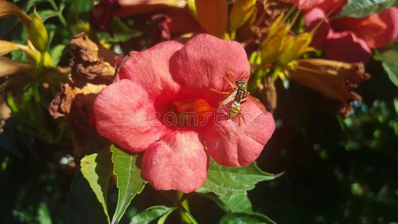 Waspe photo stock