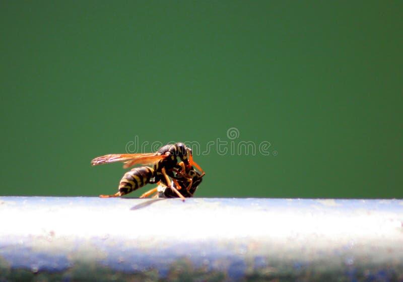 Download Wasps stock photo. Image of stinging, scent, pest, balustrade - 2284080