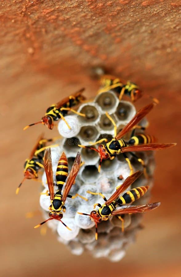 Wasps. Macro of wasps on its nest