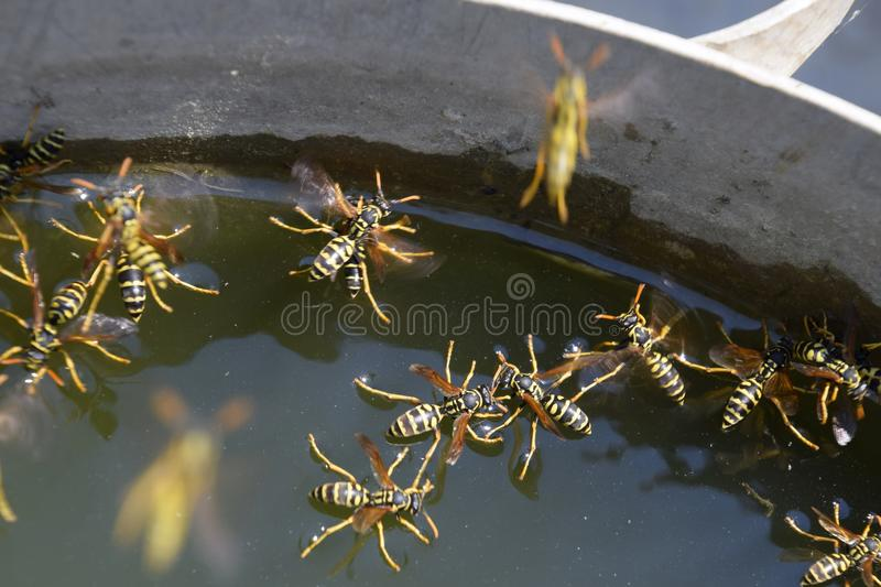 Wasps Polistes drink water. Wasps drink water from the pan, swim on the surface of the water, do not sink. Wasps drink water from the pan, swim on the surface royalty free stock image