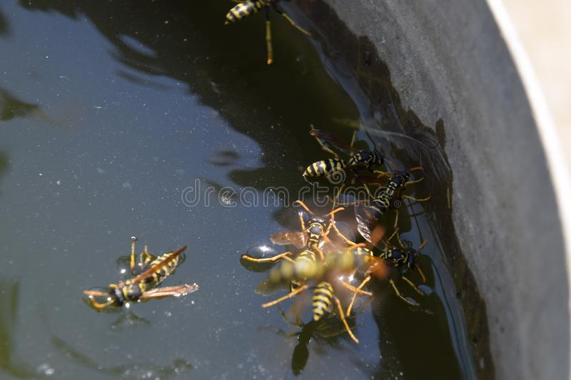 Wasps Polistes drink water. Wasps drink water from the pan, swim on the surface of the water, do not sink. Wasps drink water from the pan, swim on the surface stock images