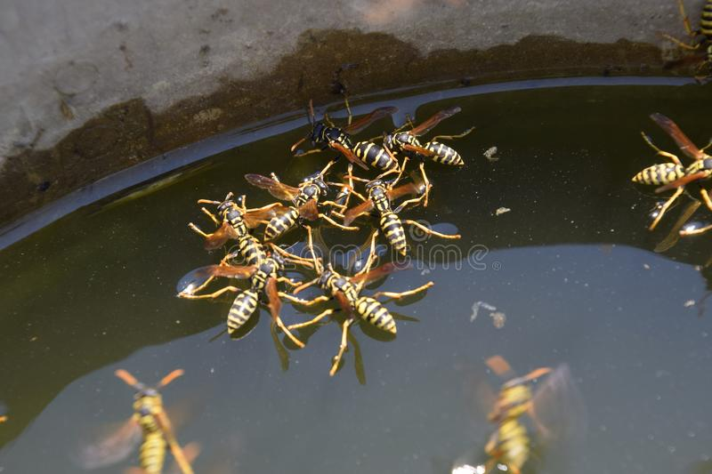Wasps Polistes drink water. Wasps drink water from the pan, swim on the surface of the water, do not sink. Wasps drink water from the pan, swim on the surface stock image