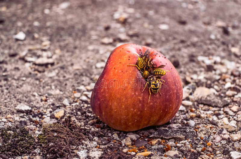 Wasps eating a rotten apple. A group of wasps eating from a rotten apple royalty free stock image