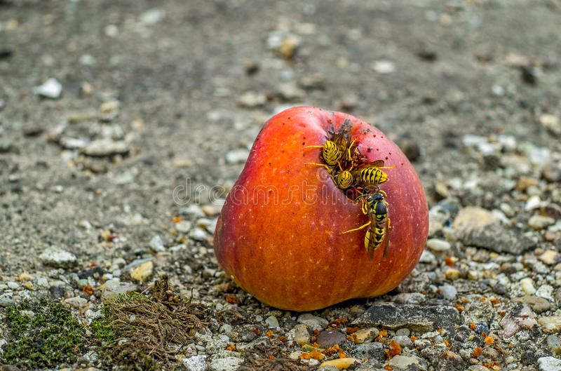 Wasps eating a rotten apple. A group of wasps eating from a rotten apple stock photo