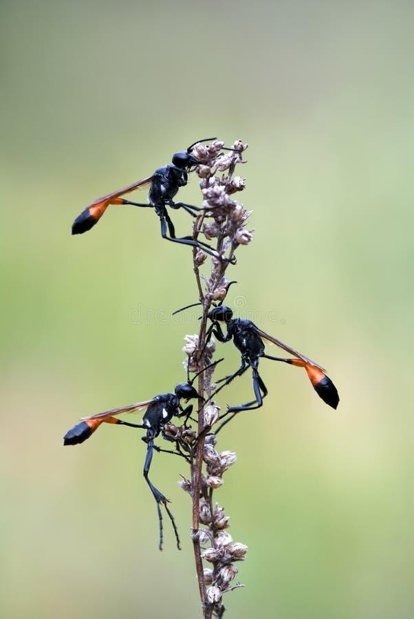 wasps för sand tre royaltyfria bilder