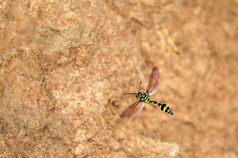 Wasps flying on the soil surface. In the garden stock images