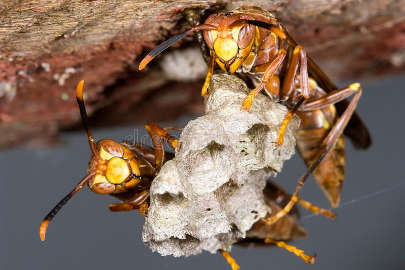 Wasps on hive. Looking for camera royalty free stock photo