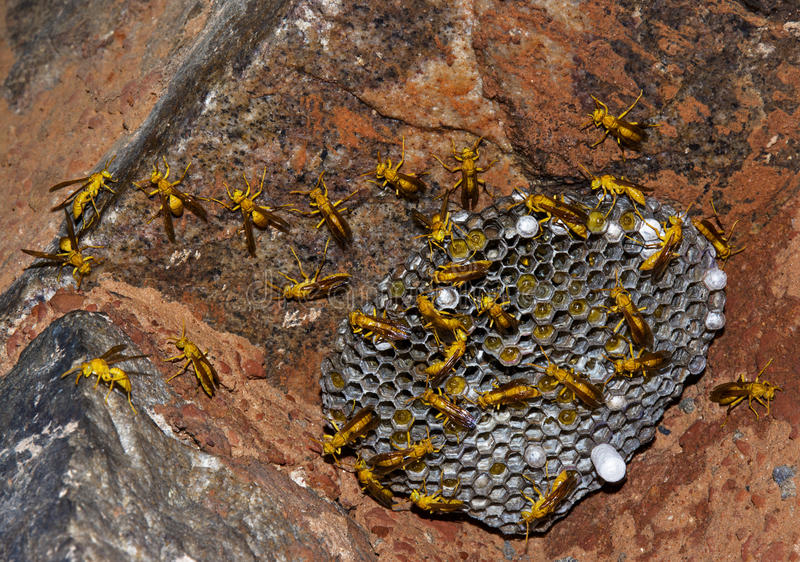 Download Wasps at hive stock image. Image of eyes, work, natural - 33463181