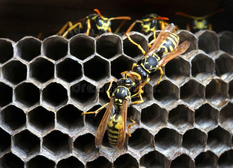 Wasps i bygga bo arkivfoto